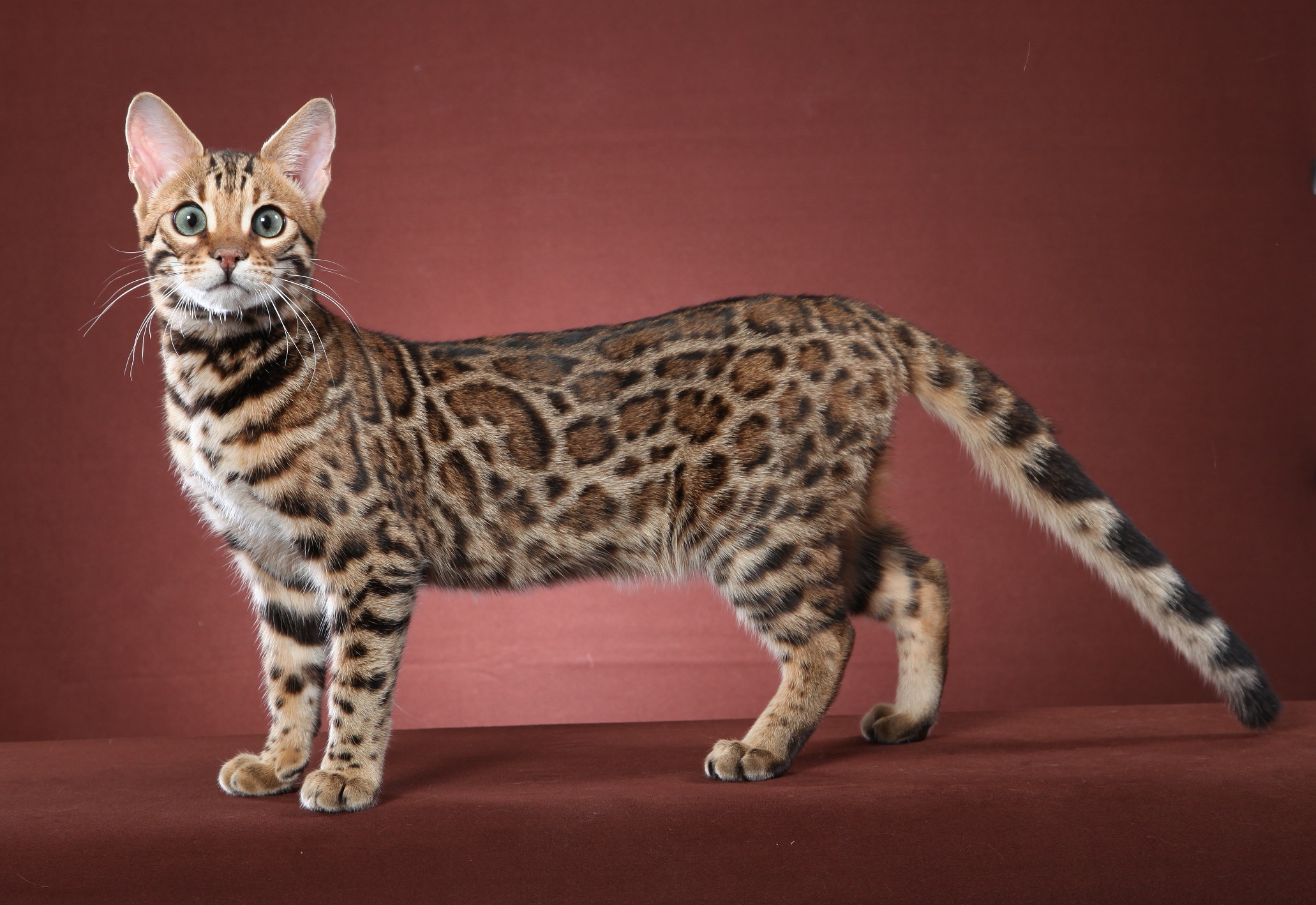 A Bengal Cat For Sale We have never s...