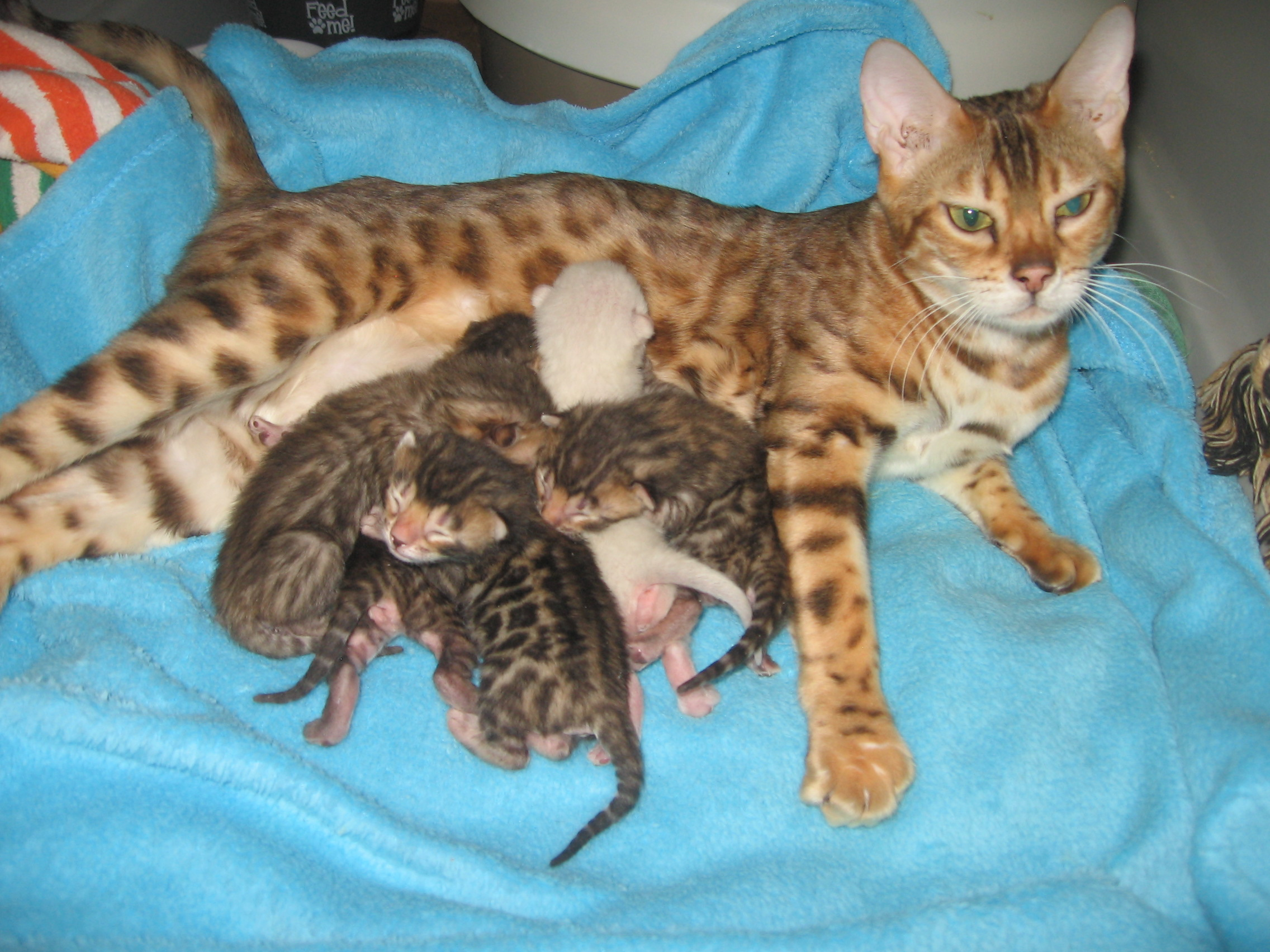 Bengal kittens for sale Colorado
