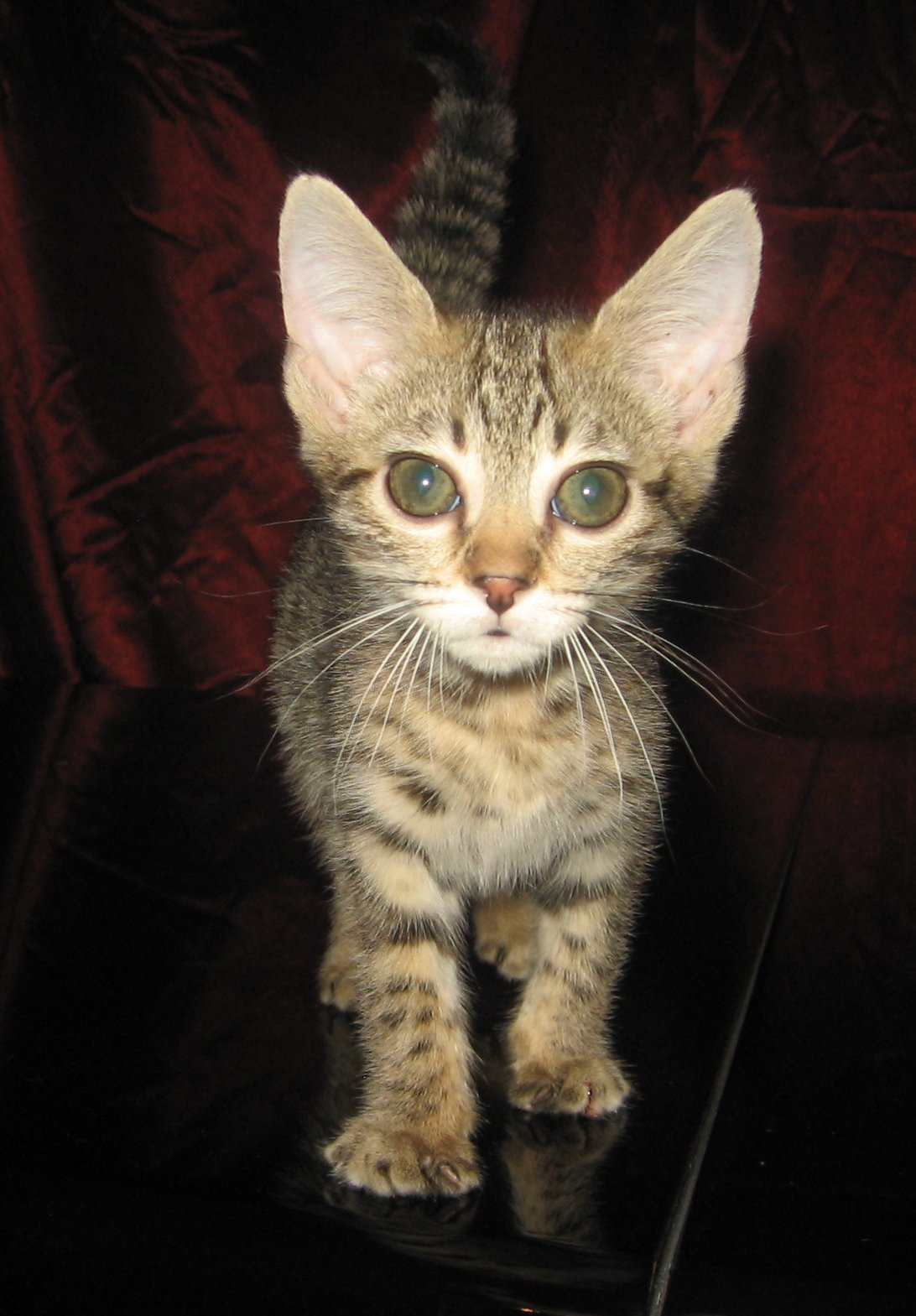 Bengal and Savannah kittens for sale: Abambu Cattery